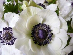 Anemone Flowers 10
