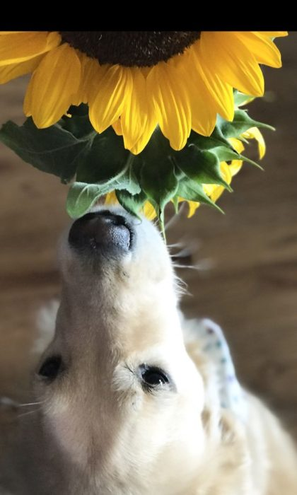 golden retriever and sunflowers